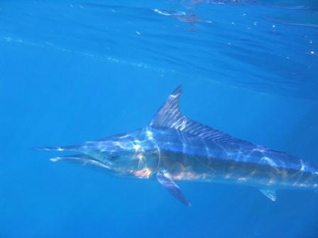 Marlin incontri