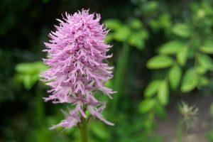 05_orchidea_selvatica