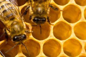 apicoltura-toscana-ambiente-firenze
