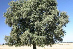 Leccio (Quercus ilex), detto anche elce.
