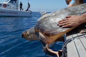 Il rilascio di una delle tartarughe studiate dai biologi dell'Università di Pisa. (Foto da www.unipi.it)