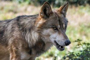 I sentieri del lupo