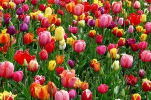 tulipani-720x460