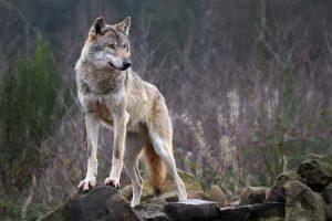 lupi-ampoli-ambiente-toscana