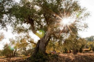 olivi-pontassieve-ambiente-toscana