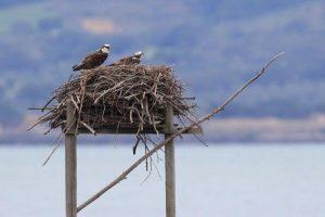 La coppia di falchi pescatori nel nido (foto di Fabio Cianchi, www.wwf.it