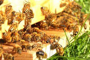 apicoltura-biologica-api-toscana-ambiente