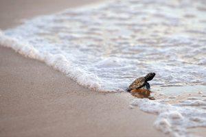 caretta-caretta-tartarughe-ambiente-toscana