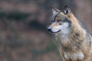 lupi-toscana-ambiente