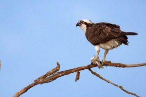 Falco pescatore (foto di Andrea Daina Palermo)