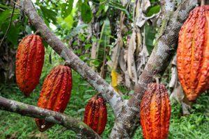 cacao_piantagione-toscana-ambiente