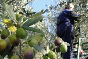 olivicoltura-goergofili-toscana-ambiente