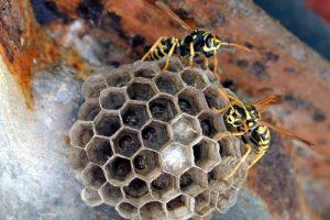 La colonia di una vespa cartonaria usurpata da un parassita sociale (Foto Università di Firenze)