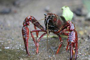 Gambero rosso della Louisiana. (Foto da it.wikipedia.org)