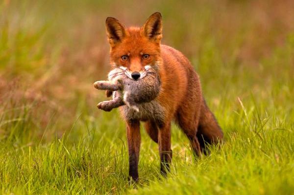 mammiferi-volpe-toscana-ambiente