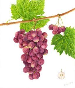 mostra frutti antichi_Uva
