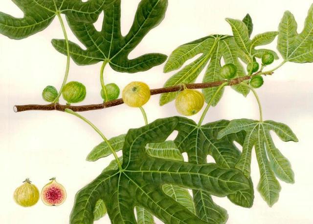 mostra frutti antichi_fichi