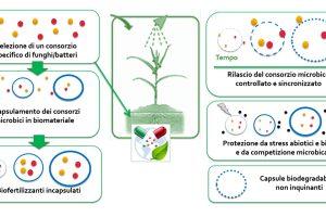 Schema del processo di produzione delle capsule biofertilizzanti. (Immagine da Istituto Sant'Anna).