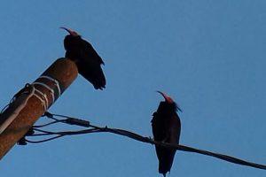 I due ibis eremita avvistati all'Isolotto, Firenze (foto di A. Landini)