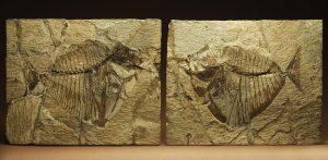 Uno dei reperti fossili della sezione di Paleontologia esposto nella mostra.
