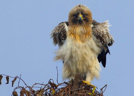 Aquila minore (foto di Pietro Fadda)