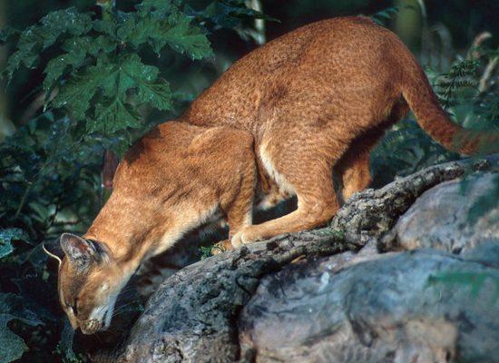 gatto-dorato-Caracal-aurata-toscana-ambiente