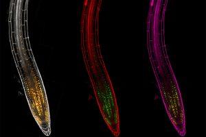 Immagini di radici da microscopia confocale. (Foto da Unipi).