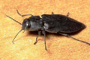 melanophila