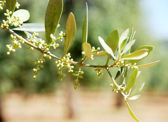 olivi-pisa-toscana-ambiente