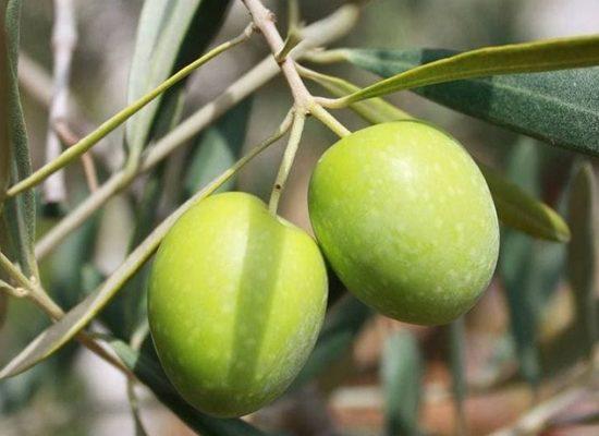 olivicoltura-biologica-chianti-toscana-ambiente
