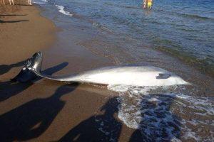 Il delfino spiaggiato a Vada (foto Arpat)