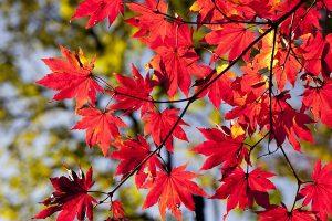 Foglie-rosse-toscana-ambiente