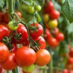 pomodori-toscana-ambiente