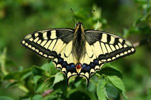 Macaone-farfalle-toscana-ambiente