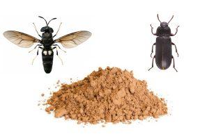 Da sinistra la mosca soldato nera (Hermetia illucens) e il verme delle farine (Tenebrio molitor).
