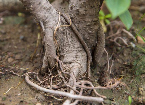 intreccio-di-radici-georgofili-toscana-ambiente