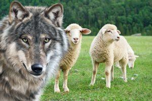 lupo-pecore-capre-wwf-toscana-siena