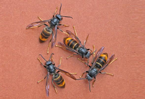 vespa-velutina-toscana-ambiente