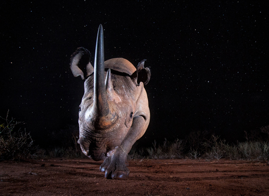 """Black Rhino at Night"". Foto di William Burrard-Lucas."