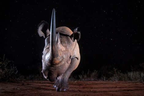 """Black Rhino at Night"". Foto di William Burrard-Lucas."