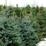 alberi-natale-toscana-ambiente