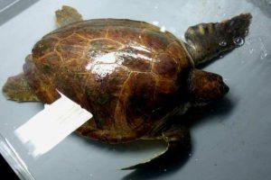 La tartaruga Natalia (foto Tartamare)