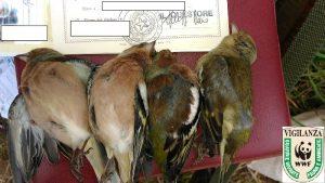 Fauna protetta abbattuta illegalmente