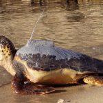 tartaruga-radio-trasmettitore-Toscana-ambiente