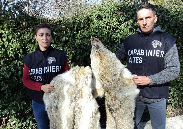 Carabinieri forestali del nucleo Cites di Firenze mostrano due pellicce di lupo siberiano