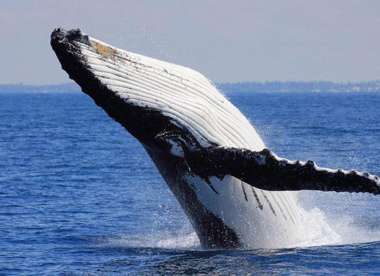 balene-antartide-toscana-ambiente-siena