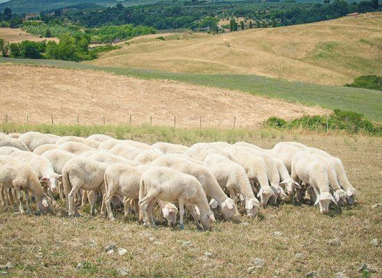 pecore-capre-ovicaprino-toscana-ambiente