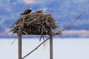 La coppia di falchi pescatori dell'Oasi Wwf laguna di Orbetello (foto di Fabio Cianchi)