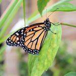 Farfalla-sicilia-toscana-ambiente-firenze