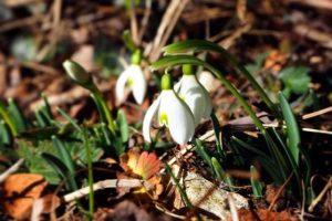 fiori-di-primavera-bucaneve-elisa-battocletti-i-love-val-di-non-1